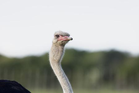 struthio camelus: Common Ostridge, Ostridge, Struthio Camelus, flightless bird, bird, South Africa, wildlife, foraging