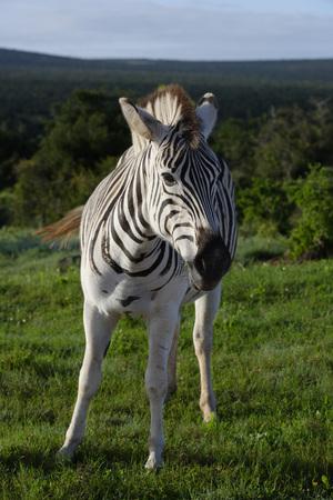 grazer: Plains Zebra foal in Addo Elephant National Park, South Africa