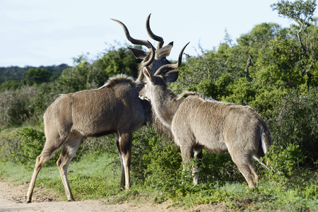 Greater Kudu, Addo Elephant National Park, Eastern Cape, South Africa Stock Photo