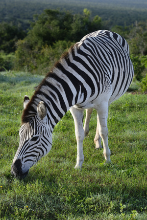 Plains Zebra foraging in Addo Elephant National Park, South Africa Stock Photo