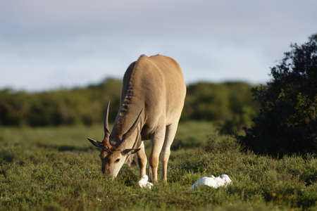 Common Eland grazing, Addo Elephant National Park, Eastern Cape, South Africa