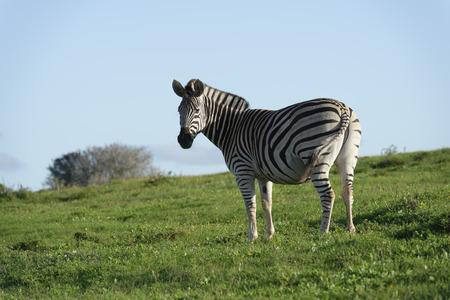 grazer: Plains Zebra in Addo Elephant National Park, South Africa