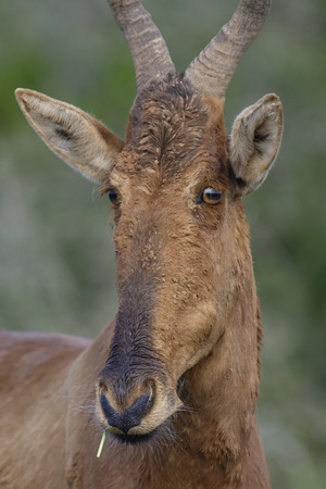 Red Hartebeest portret, Addo Elephant National Park, Eastern Cape, South Africa