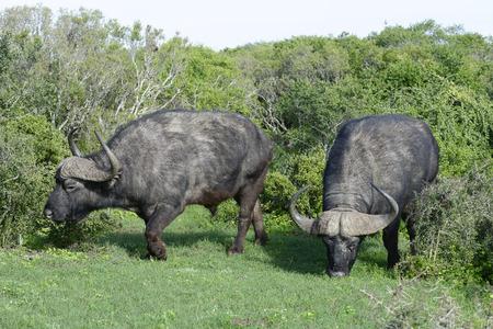 Cape Buffalo foraging, Addo Elephant National Park, Eastern Cape, South Africa