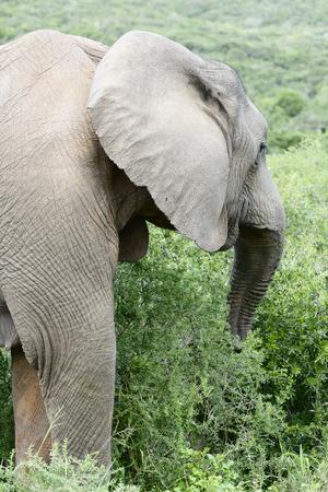 grazer: African Bush Elephant, Addo Elephant National Park, Eastern Cape, South Africa