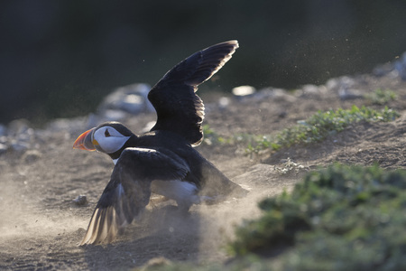 Atlantic Puffin crash landing during the breading season on Skomer Island, Wales. Stock Photo