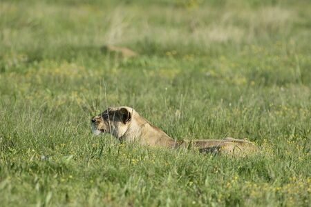 Lioness hunting on the plains, South Africa