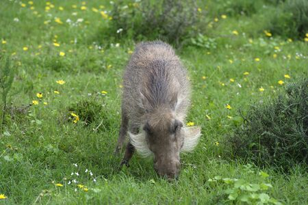 Common Warthog, Addo Elephant National Park, Eastern Cape, South Africa Stock Photo