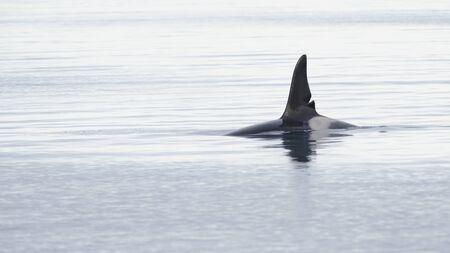 Orca, Grundarfjordur, Iceland Standard-Bild