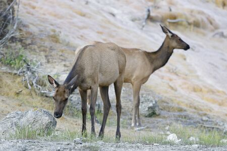 Elk, Mammoth Hot Springs, Yellowstone National Park, Wyoming, USA Фото со стока