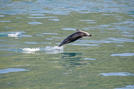Dusky Dolphin jumping clean out of the water, Kaikoura Coast, South Island, New Zealand