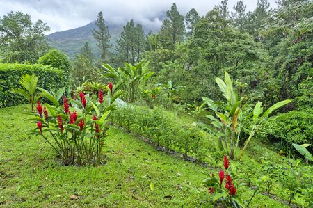 Red Ginger in a hotel garden with the Arenal Volcano in the background, Costa Rica