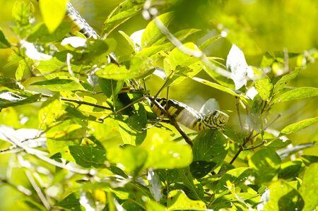 Tiger Snake in Rincon Rain Forest, Costa Rica