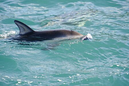 Dusky Dolphin playing, Kaikoura Coast, South Island, New Zealand