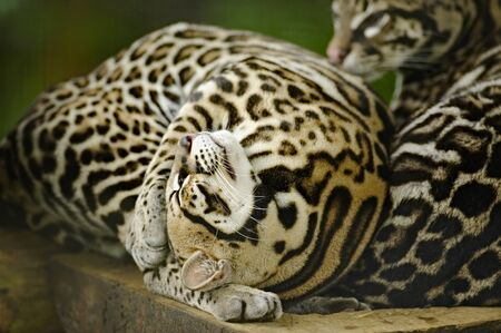 Ocelot stretching, La Paz Waterfall Gardens, Costa Rica