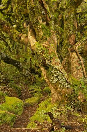 Twisted fairy tale trees in Kamahi Forest on the slope of Mt Egmond, North Island, New Zealand Stock fotó