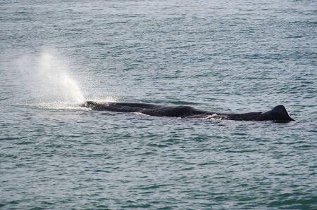 Sperm Whale breathing in Kaikoura Coast, South Island, New Zealand Stock fotó