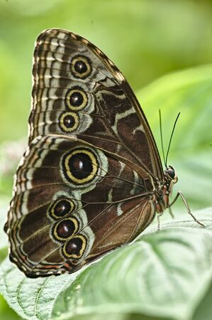 Butterfly in La Paz Waterfall Gardens, Costa Rica