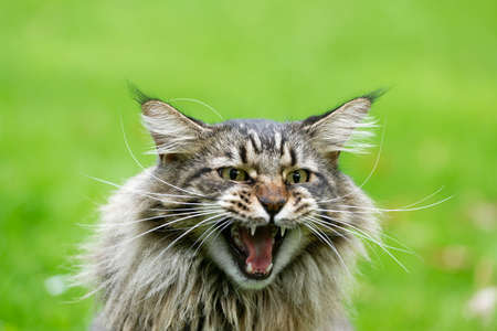 Beautiful Maine Coon cat.