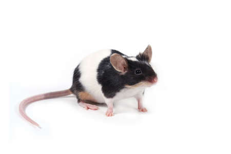 furry tail: a little mouse on white background Stock Photo