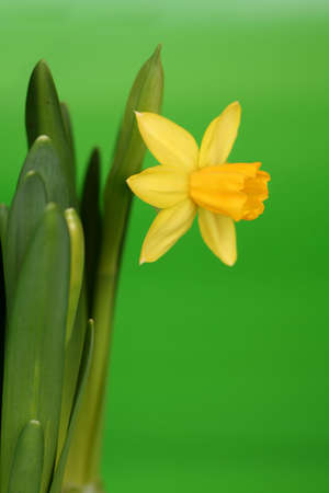narcissus on green background photo