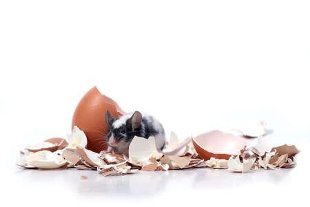 little mouse in broken eggshells photo