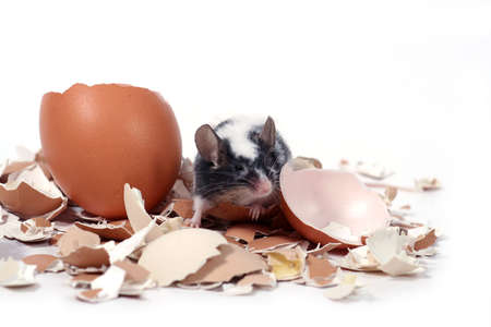 newborn rat: little mouse in broken eggshells Stock Photo