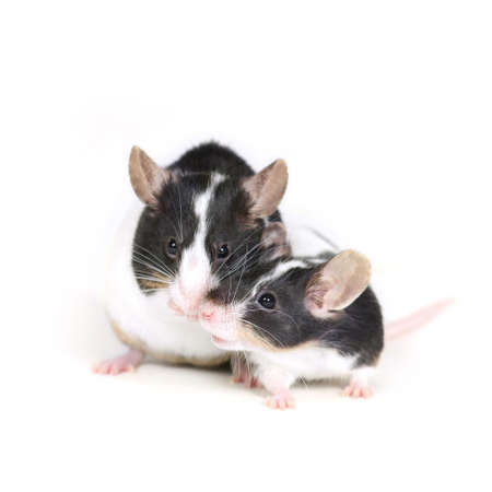 furry tail: mouses kiss