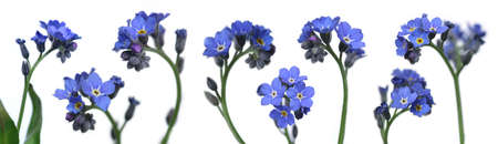 mix of 8 forget-me-nots over clear white background Stock Photo - 392021