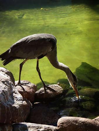 Grey heron (Ardea cimerea) photo