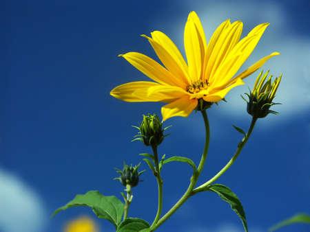 meadowland: yellow flower over blu sky Stock Photo