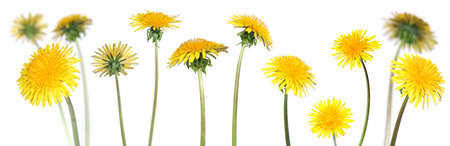 taraxacum: mix of 12 dandelions over clear white background  (taraxacum officinale) Stock Photo