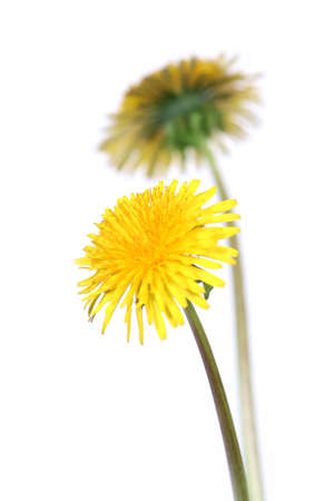 taraxacum: two dandelions over clear white background (taraxacum officinale)