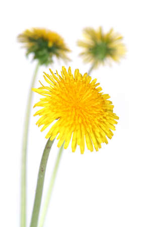 three dandelions over clear white background  (taraxacum officinale) photo