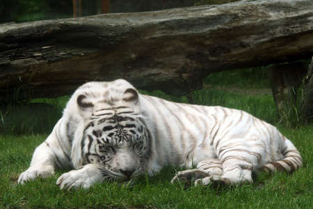 white tiger sleeping on a grass Stock Photo - 422463