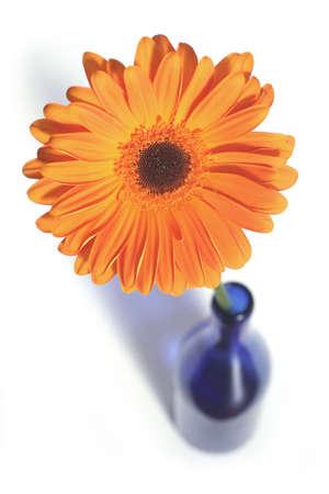 orange gerbera in blue bottle over clear white background photo