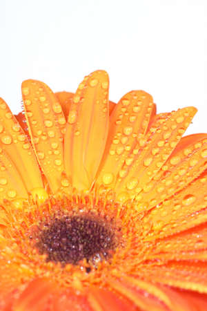 smal: orange gerbera with smal waterdrops over clear white background