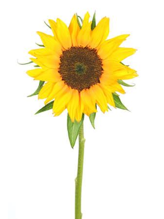 sunflower isolated: giallo girasole isolato su sfondo bianco. Archivio Fotografico