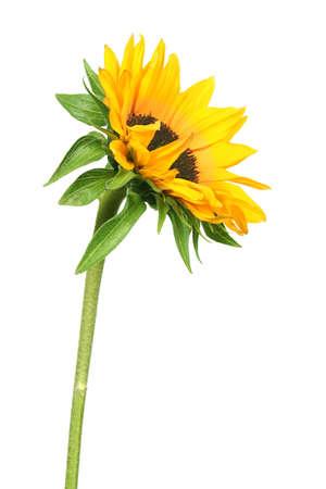 sunflower isolated: giallo girasole isolati su sfondo bianco.