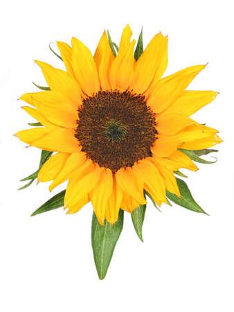 sunflower isolated: Brillante giallo girasole isolato su sfondo bianco.