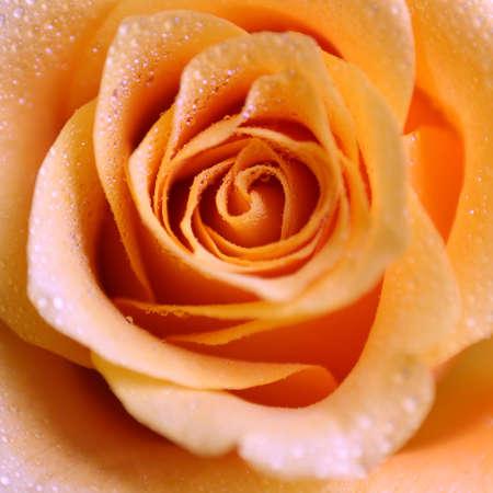 ecard: a macro of a dewy rose - closer than normal