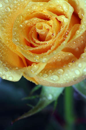 dewy: postcard with dewy rose
