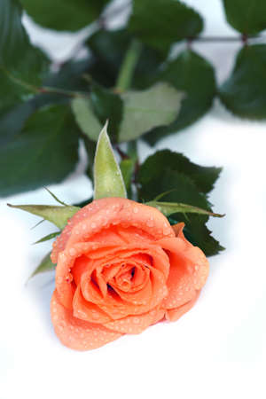 dewy: dewy rose lying on a white background Stock Photo