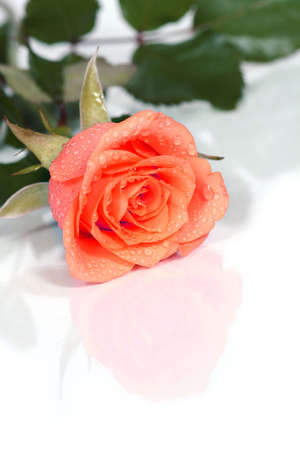 write your own text on it! a dewy rose Stock Photo - 452312