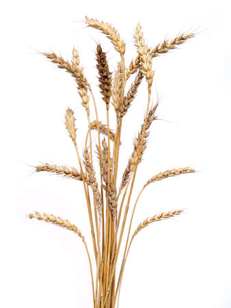 bunch of golden wheat isolated on white background Stock Photo - 496093