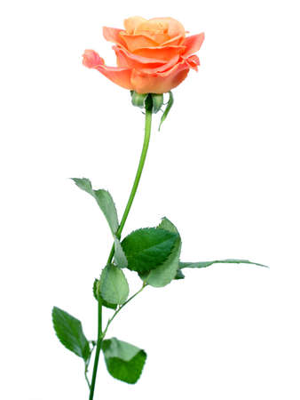 rose over white background