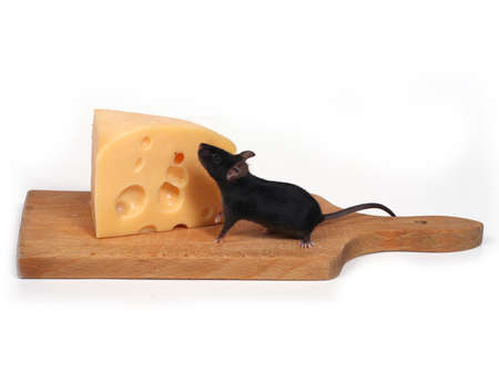little mouse and cheese photo