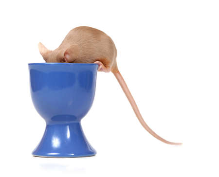 little mouse eating on a blue cup Stock Photo - 559500