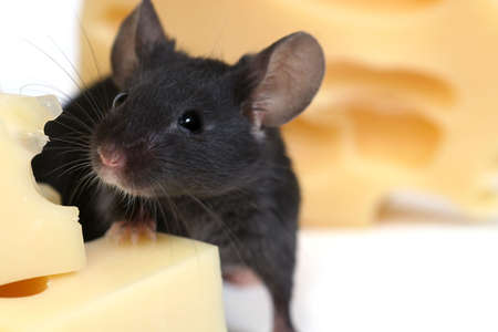mouse animal: close up on little mouse and cheese Stock Photo