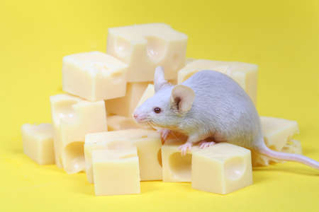 close up on little mouse and cheese on yellow background photo